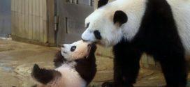 Panda bebé debuta en zoológico de Tokio