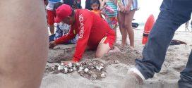 Resguarda Protección Civil de PV,  110 Tortugas Golfinas, recién Nacidas en Playa Las Glorias